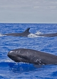 whales in the azores