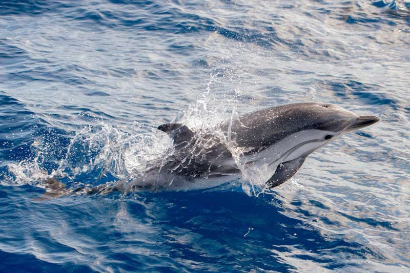 azores dolphin and whale watching